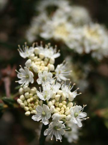 Ledum groenlandicum - Moeraspalm