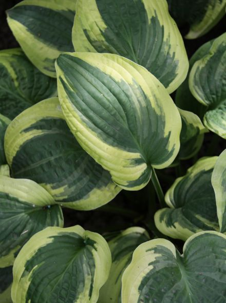 Hosta ventricosa 'Wide Brim' (Hartlelie)