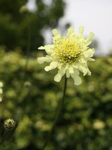 Cephalaria gigantea - Schoepkruid