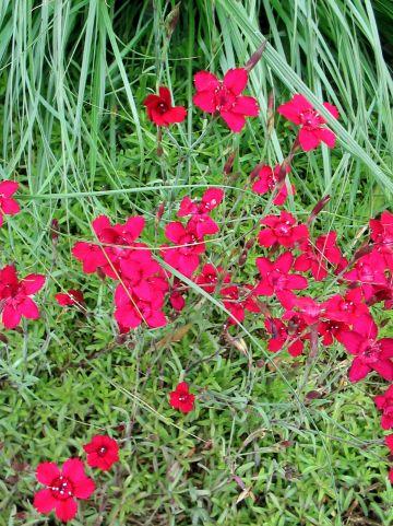 Dianthus deltoides 'Leuchtfunk' - Steenanjer