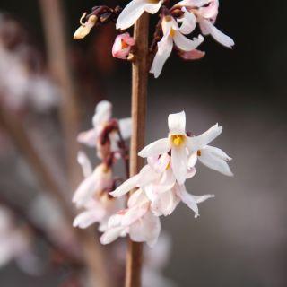 Abeliophyllum distichum (Sneeuwforsythia)