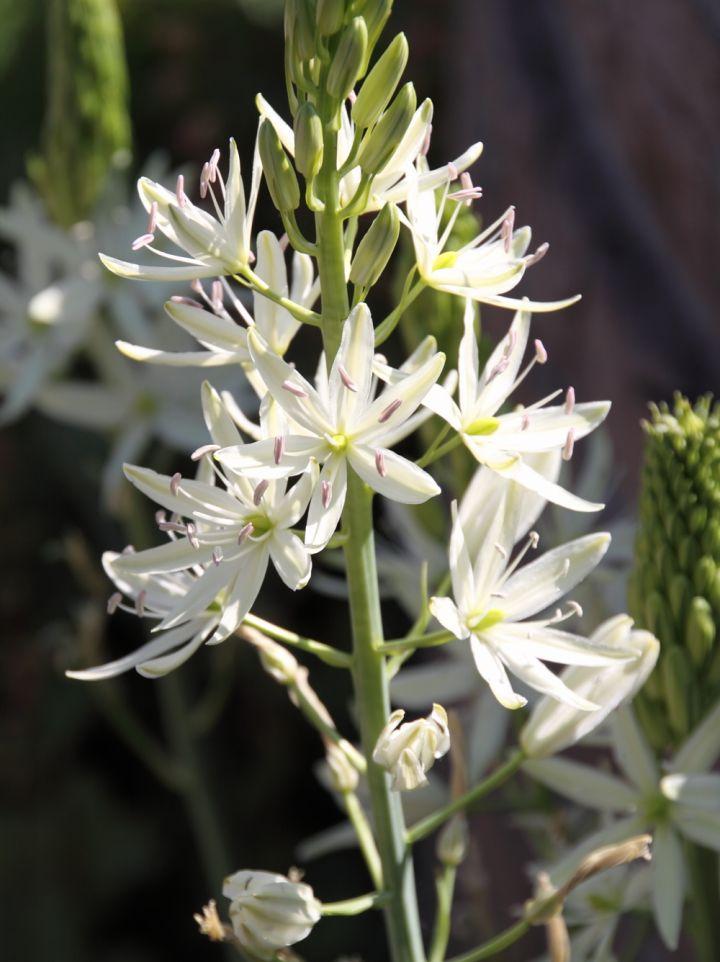 Camassia leichtlinii 'Alba' - Prairielelie