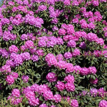 Hoe komt het dat de Rododendron niet meer wil bloeien?