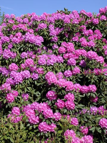 Rhododendron 'Roseum Elegans' - Rododendron
