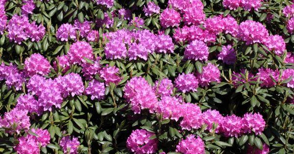 rhododendron 39 roseum elegans 39 rododendron de tuinen. Black Bedroom Furniture Sets. Home Design Ideas