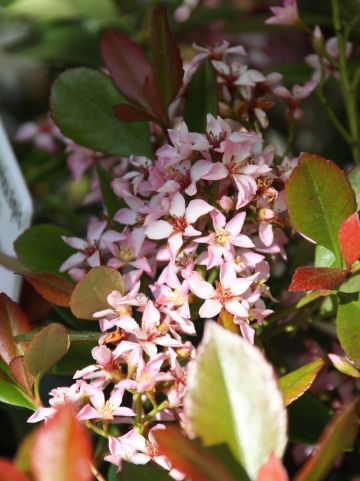 Rhaphiolepis delacourii 'Coates Crimson' - Indiase meidoorn