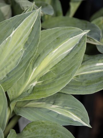 Hosta 'Kiwi Full Monty' - Hartlelie