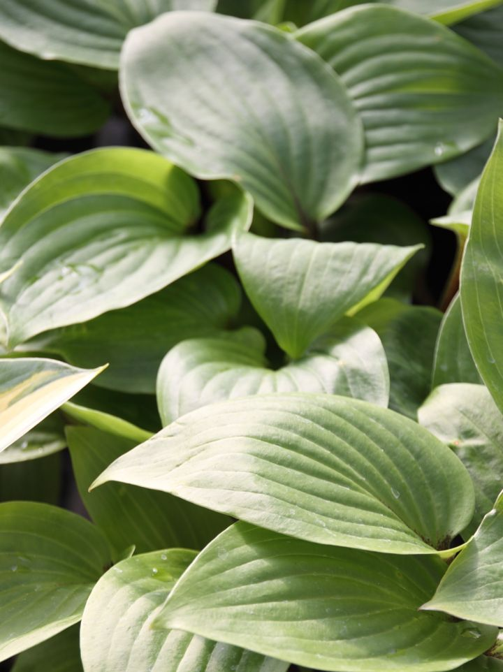 Hosta 'Purple Heart' - Hartlelie