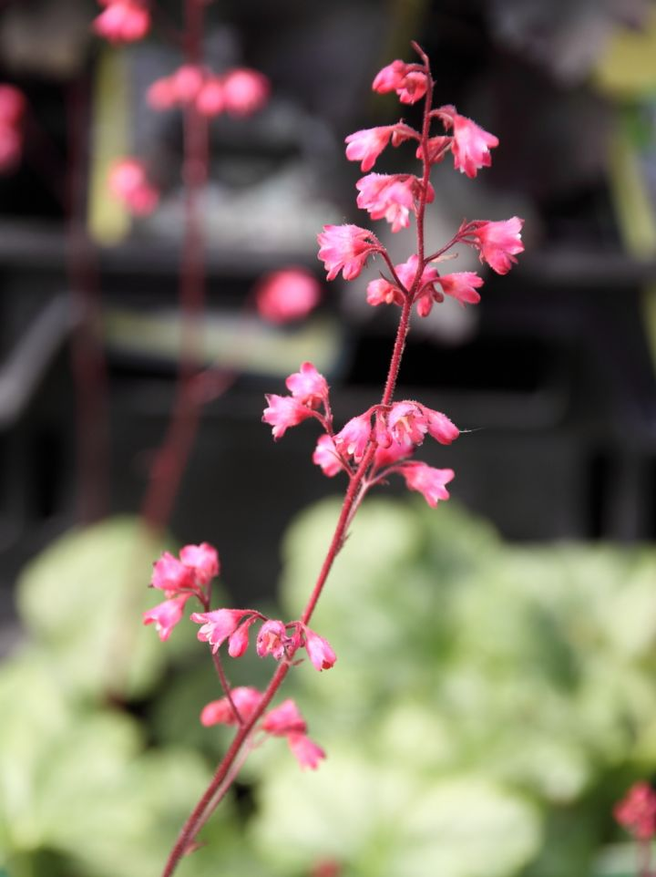 Heuchera 'Paris' - Purperklokje