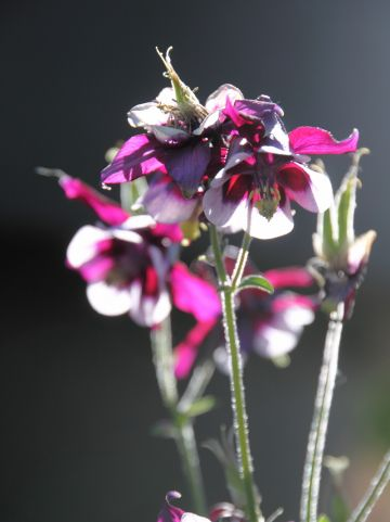 Aquilegia vulgaris 'William Guinness' -Akelei