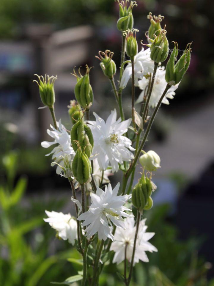 Aquilegia vulgaris 'White Barlow' - Akelei