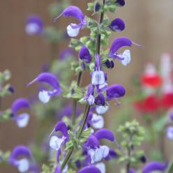 Salvia 'Madeline' - Salie