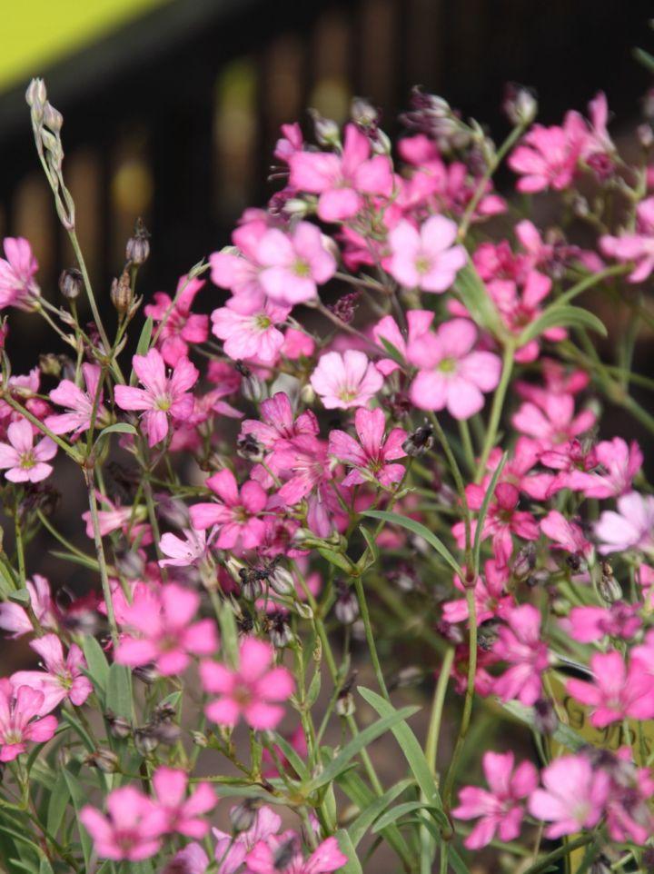 Gypsophila repens 'Rosa Schonheit' - Kruipend gipskruid
