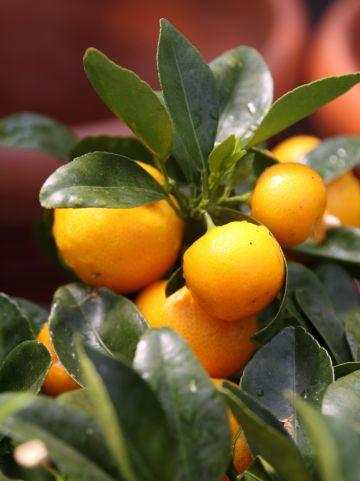 Citrus mandurensis - Kamersinaasappel