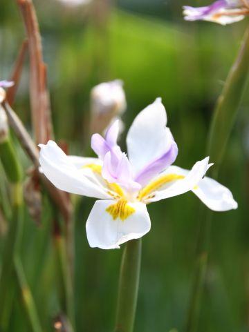 Dietis grandiflora - Grote wilde iris