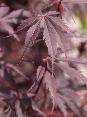 Acer palmatum 'Black Lace' - Japanse esdoorn