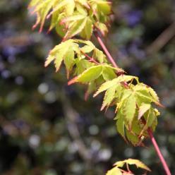 Acer palmatum 'Little Princess' - Japanse esdoorn