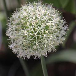 Allium 'Mount Everest' - Sierui
