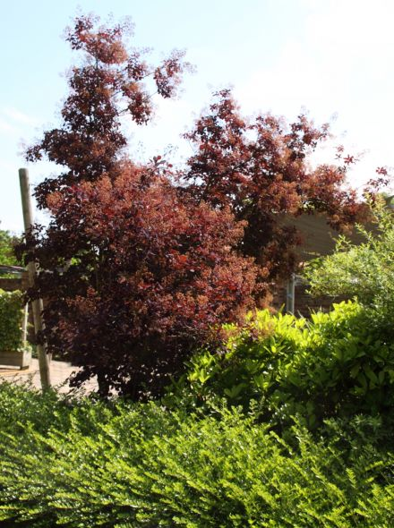 Cotinus coggygria 'Royal Purple' (Roodbladige Pruikeboom)