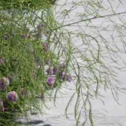 Asparagus officinalis - Asperge