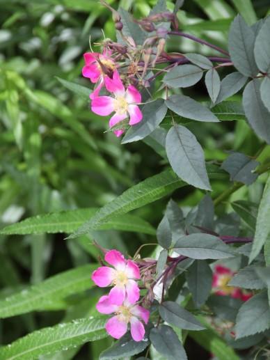 Rosa glauca - Struikroos