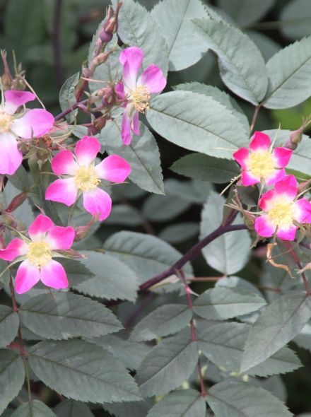 Bergroos (Rosa glauca = Rosa rubrifolia)