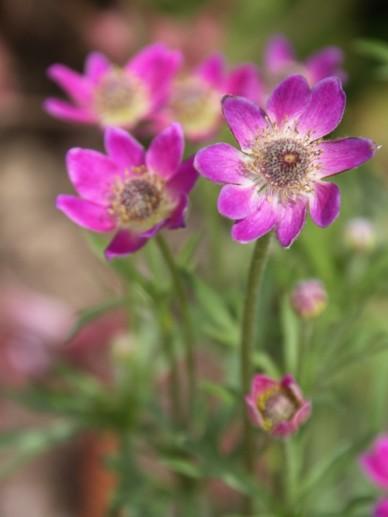 Anemone lesseri - Anemoon