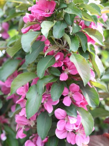 Malus domestica 'Rosalie' - Appelboom