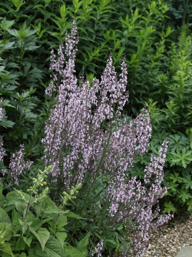 Nepeta nuda 'Purple Cat' - Kattekruid