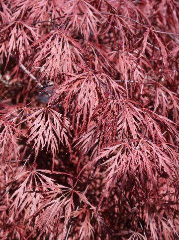 Acer palmatum 'Crimson Queen' - Japanse esdoorn