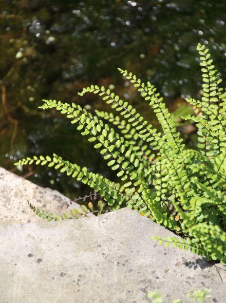 Asplenium trichomanes (Steenbreekvaren)