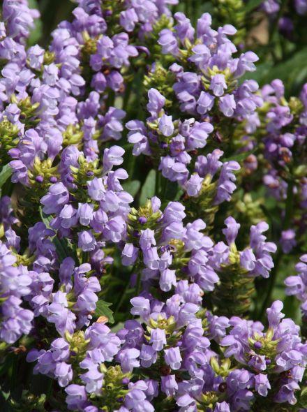 Prunella grandiflora 'Loveliness' (Bijenkorfje, Brunel)