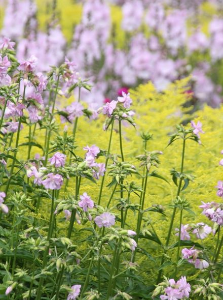 Saponaria officinalis 'Rosea Plena' (Zeepkruid)