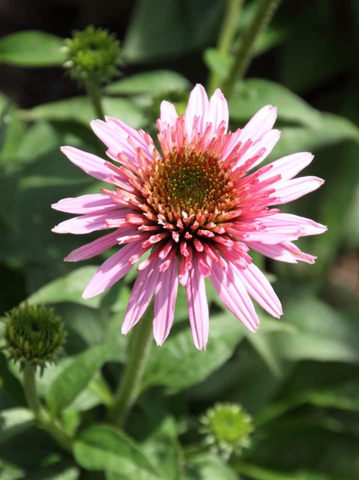 Echinacea 'Butterfly Kisses' - Zonnehoed