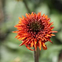 Echinacea 'Secret Lust' - Zonnehoed