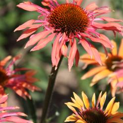 Echinacea 'Pacific Summer' - Zonnehoed