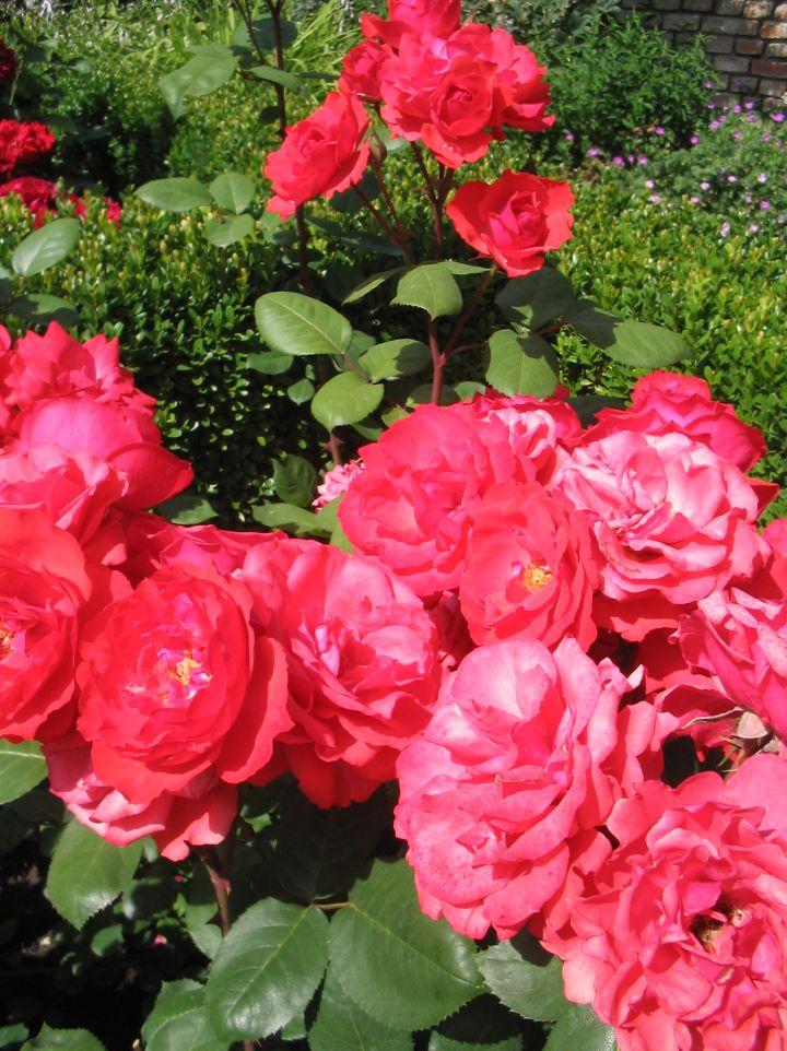 Rosa 'Amsterdam' - Floribundaroos
