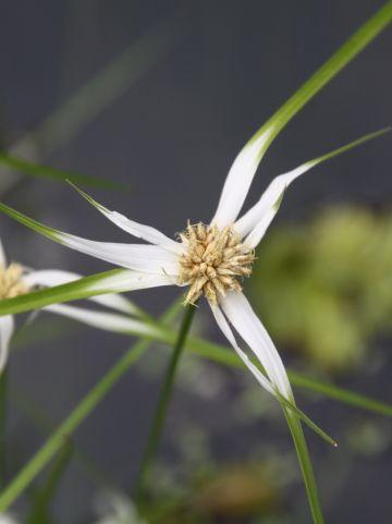 Dichromena colorata - Sterrengras