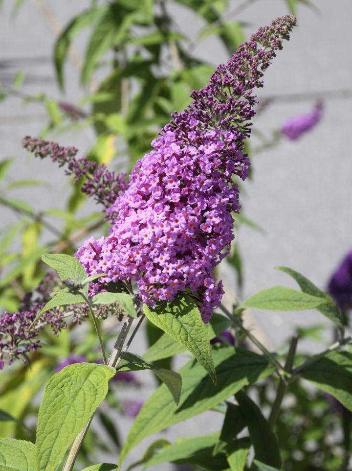 Buddleja davidii 'Minpap'(= 'Reve de Papillon') = Vlinderstruik