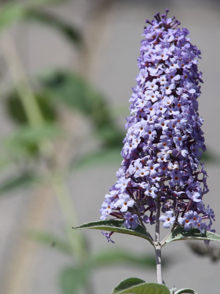 Buddleja davidii 'Summer House Blue' - Vlinderstruik