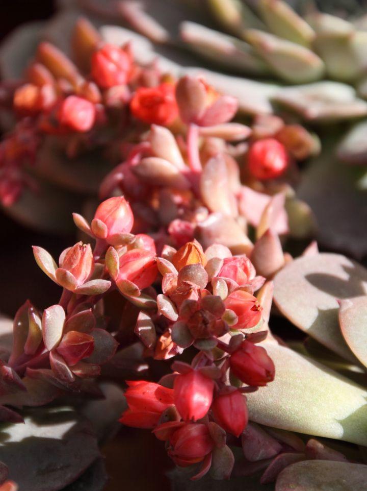 Echeveria elegans -  Echeveria, Vetplant