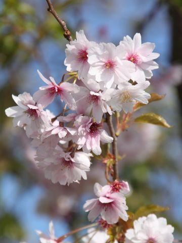 Prunus subhirtella 'Autumnalis Rosea' - Sierkers