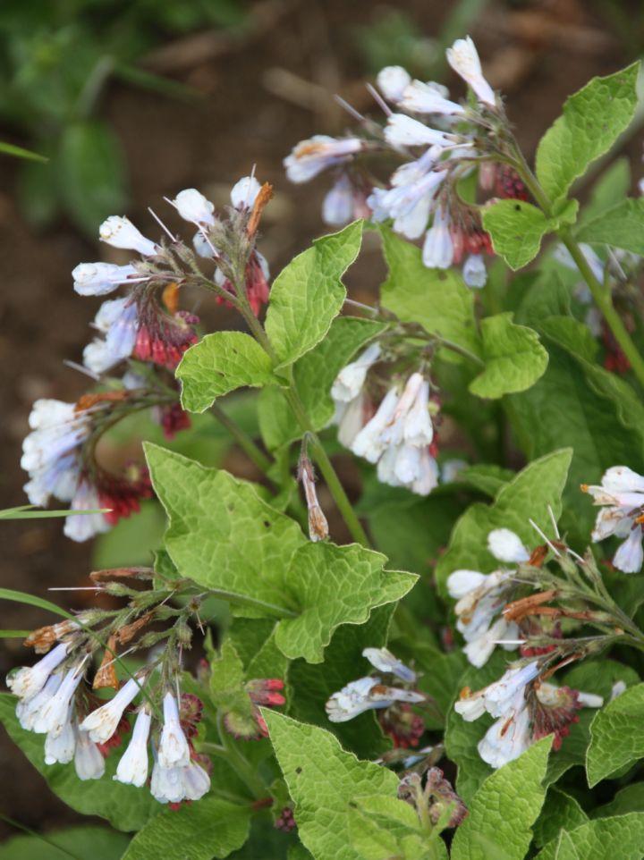 Symphytum grandiflorum 'Wisley Blue' - Smeerwortel