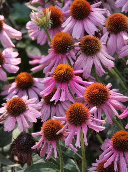 Echinacea purpurea 'Kim's Knee High' (Rode Zonnehoed)