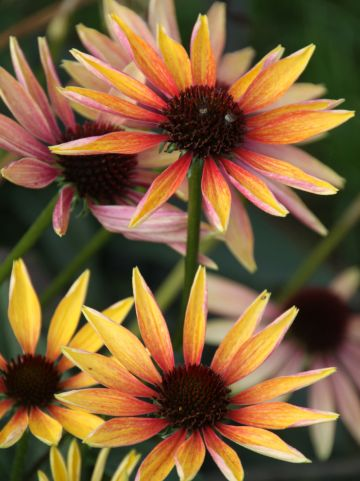 Echinacea 'Evening Glow' - Zonnehoed