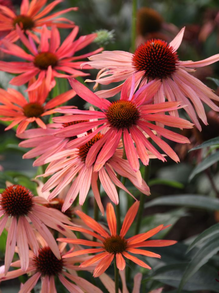 Echinacea 'Orange Passion' - Zonnehoed
