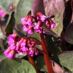 Bergenia cordifolia 'Eroica' - Schoenlappersplant
