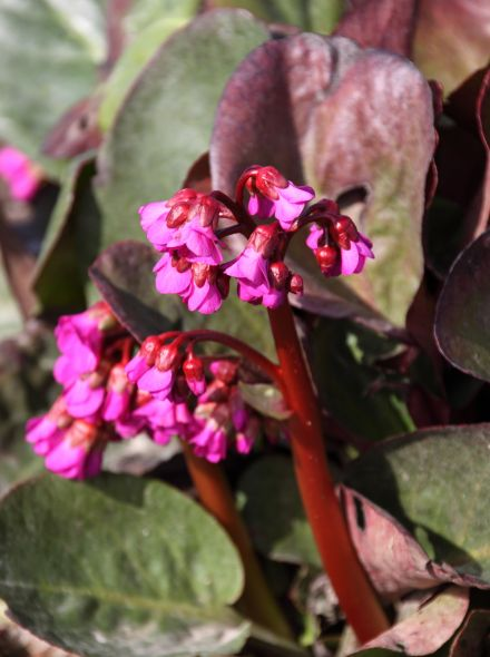 Bergenia cordifolia 'Eroica' (schoenlappersplant)