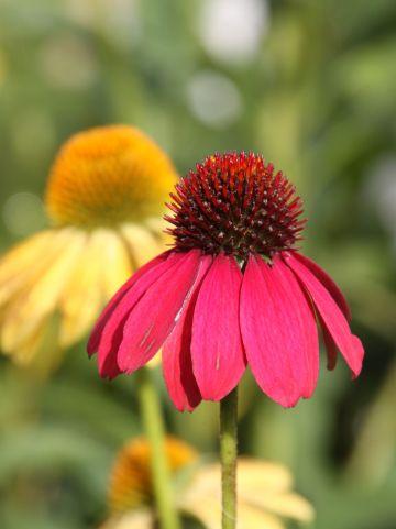 Echinacea 'Cheyenne Spirit' - Zonnehoed