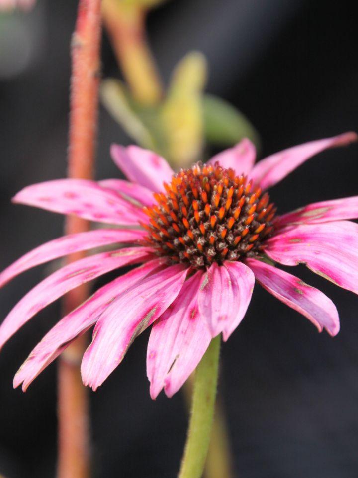 Echinacea purpurea 'Prairie Splendour' - Rode zonnehoed